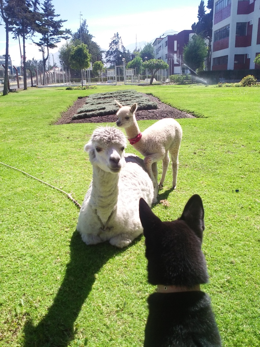 my dog and llamas